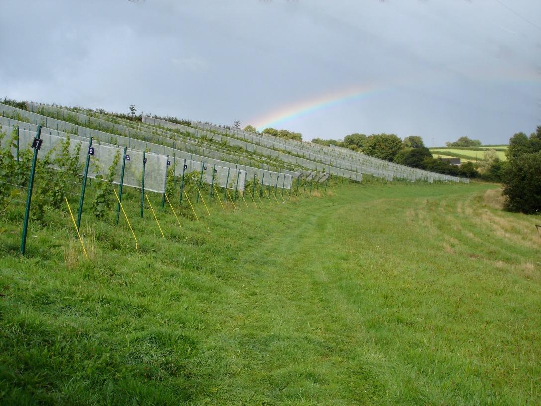 vineyard20rainbow
